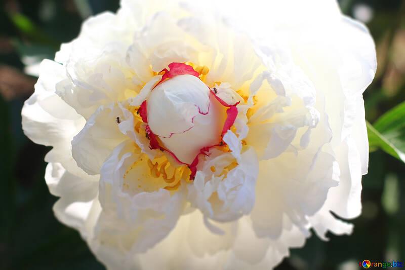 Large White Peony flower №32666