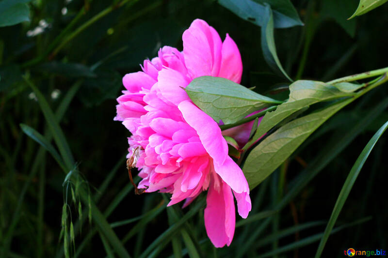 Peony flower №32637