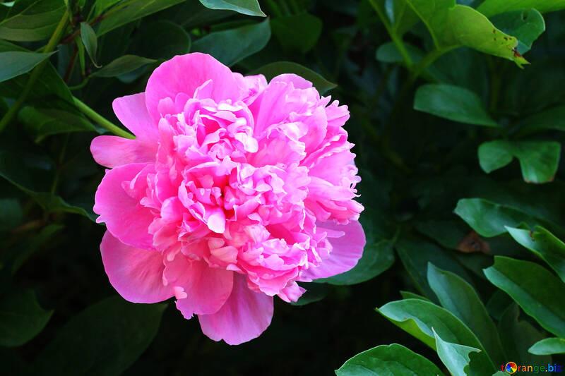 Peony pink №32659