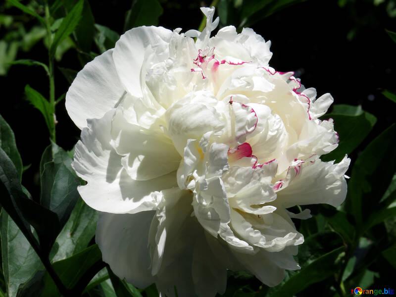 White Peony №32633