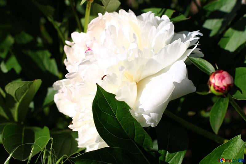 White Peony №32644