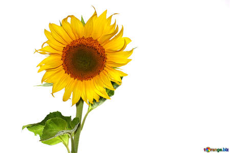 Sunflower №32780