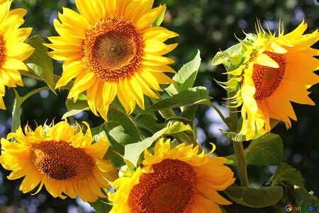 Картинки по запросу фото букетів квітів з соняшниками та польовими квітами