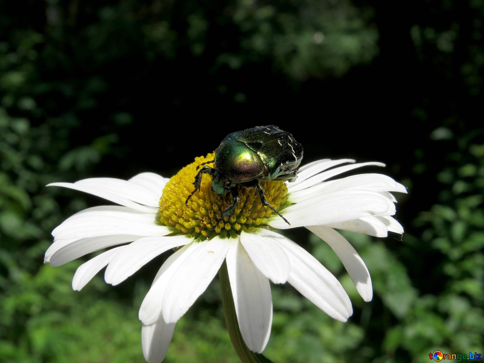волос картинка жук летит к цветку красивым опереньем