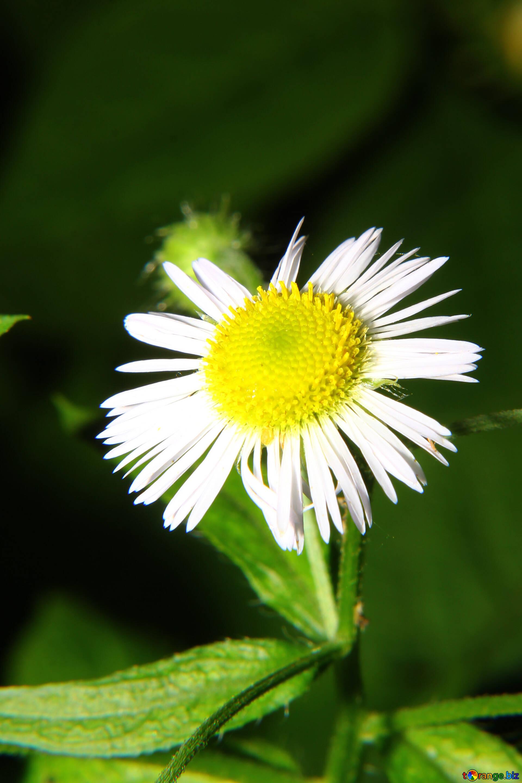 Wild Aster Daisy The Daisy Like Flower Summer 33386