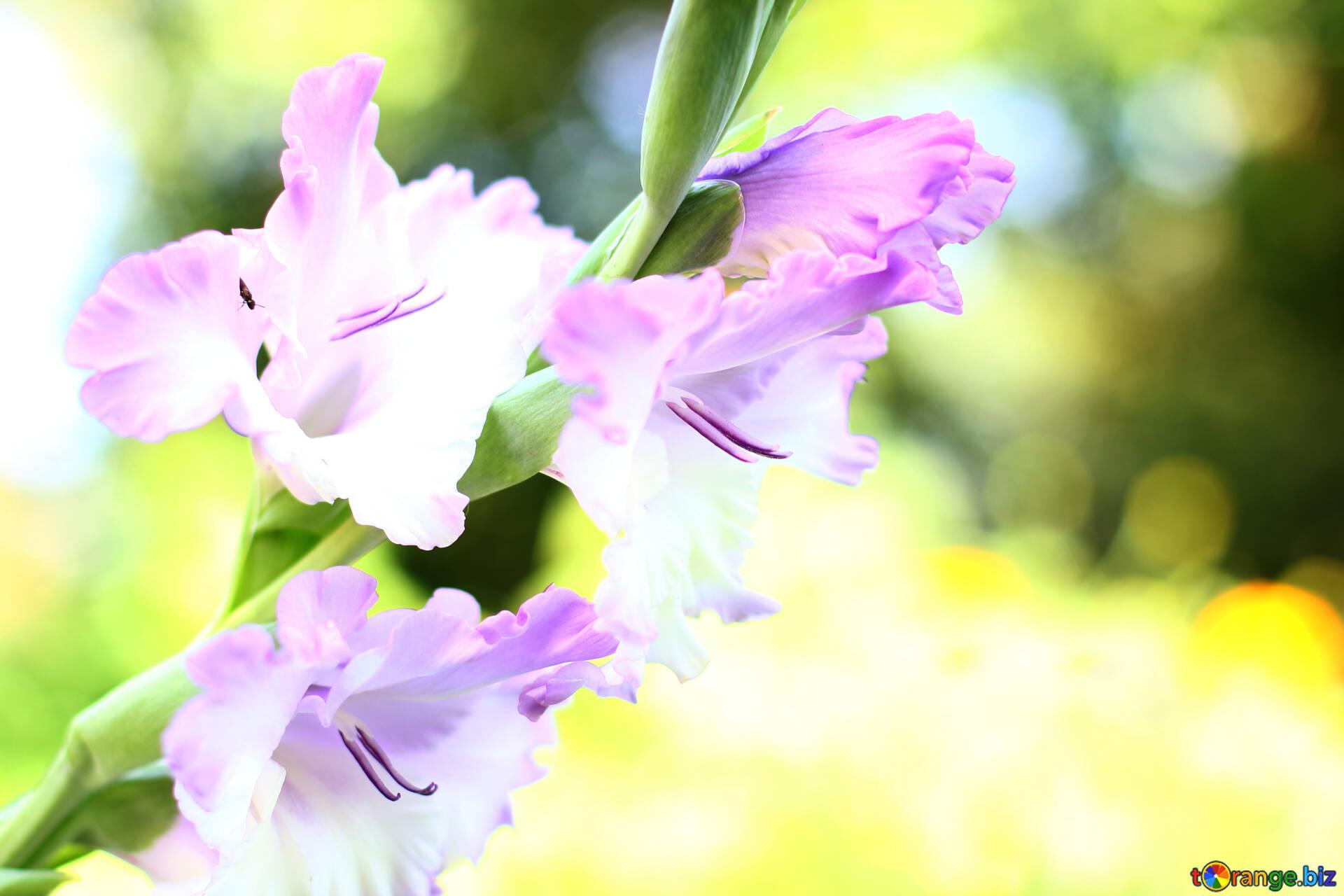 background flowers wallpaper desktop flower of gladiolus autumn № 33788