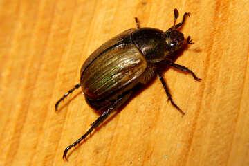 Beetle №33852