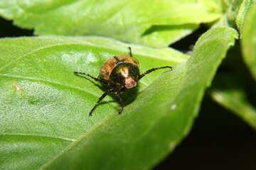 Beetle on leaf №33855
