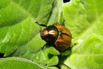 Beetle on leaf №33858