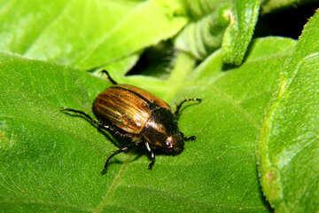 Little beetle khrushch №33856