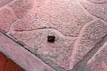 Dead Colorado potato beetle №33966