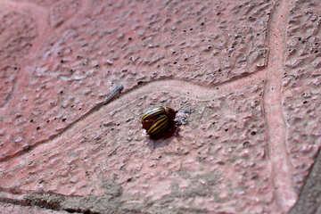 Slain Colorado potato beetle №33967