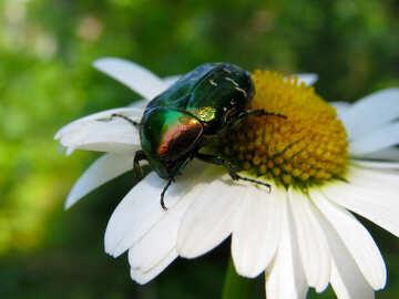 Bellissimo scarabeo lucido su fiore №33723