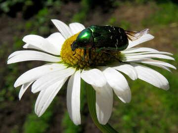 Scarabeo verde fiore №33693