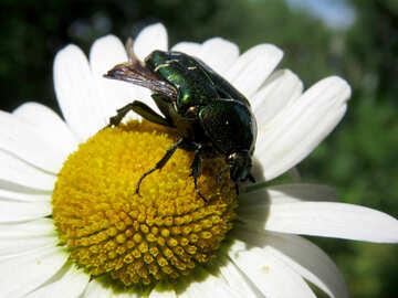 Il coleottero vive sui fiori №33694