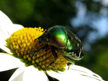 Oxythyrea funesta su scarabeo fiore №33688