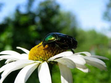 Oxythyrea funesta su scarabeo fiore №33703
