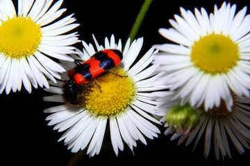 Trichodes apiario №33879