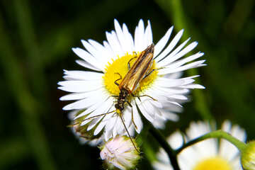 Beetle on daisy №33865