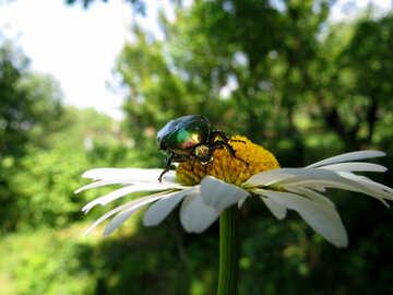 Beetle oxythyrea funesta №33715