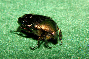 Beetle oxythyrea funesta №33884