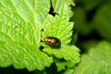 Beetle pyrrhalta green Mint №33888