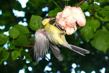 Great tit bird eating suet №33110