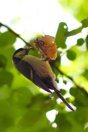 Great tit bird eating suet №33129