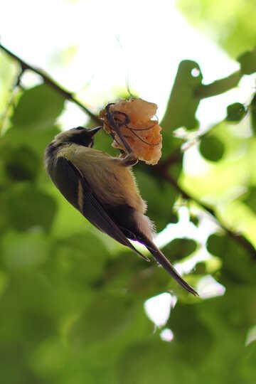 Great tit bird eating suet №33135