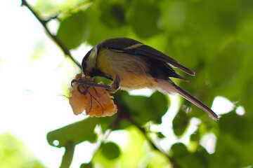 Tit bird eating suet №33133
