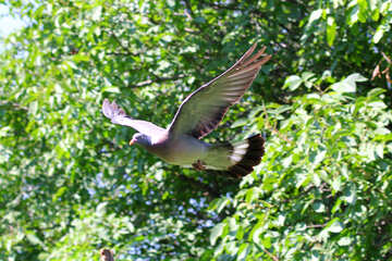 Forest dove №33817
