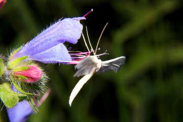 Pal′cekrylka pteroforidy butterfly on flower №33844