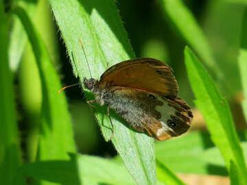 Arkania Butterfly №33840