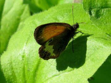Arkania Butterfly №33843