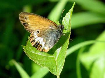 Siennica-Butterfly №33842
