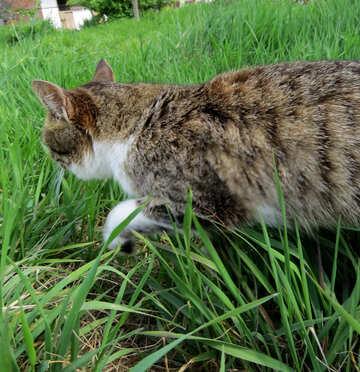 Cat sneaks in the grass №33302
