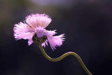 Cornflower №33436
