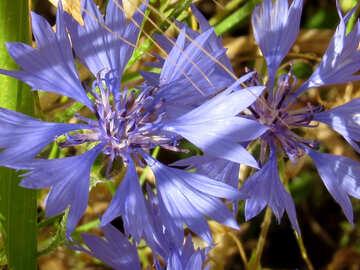 Flower cornflower №33329