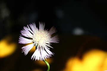 Flower garden cornflower №33426