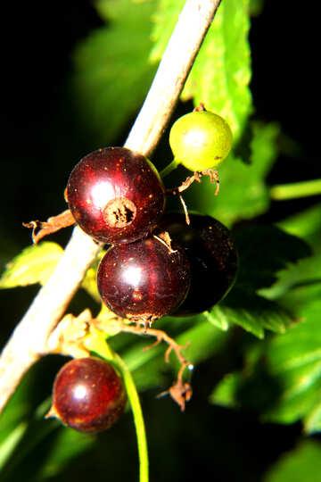 Ribes  №33618