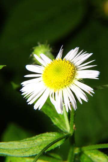 Die Gänseblümchen-wie Blume №33386