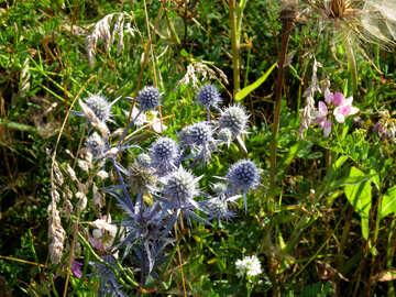 Eryngium hierba azul rasposa de campo №33333