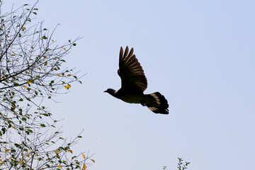 Dove in flight №33797