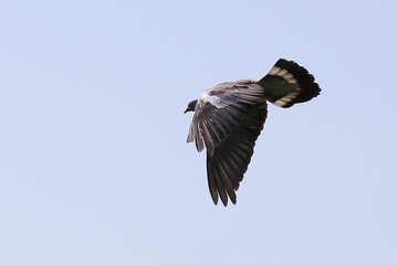 Wild dove in flight №33808