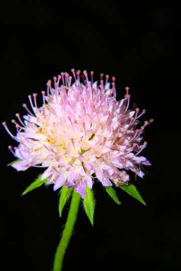 Clover flower №33376