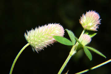 Little fluffy flower №33365