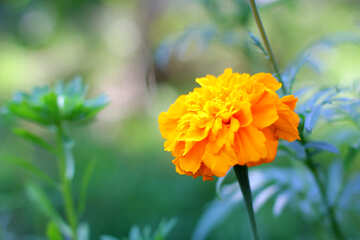 Long flower Marigold №33463