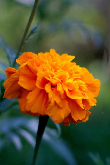 Orange Marigold flower №33464