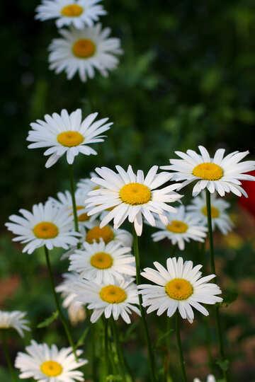 Daisy flowers №33418