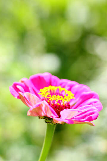 Major flower